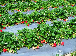 как правильно рассадить клубнику осенью