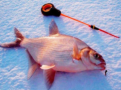 приманка из перловки для рыбы
