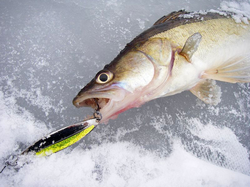 Рыбалка на блесну зимой