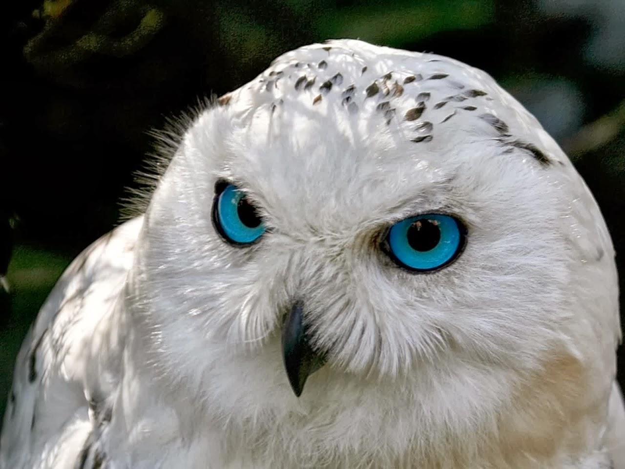 Полярная сова и описание для детей 79