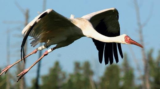 Белый журавль: фото